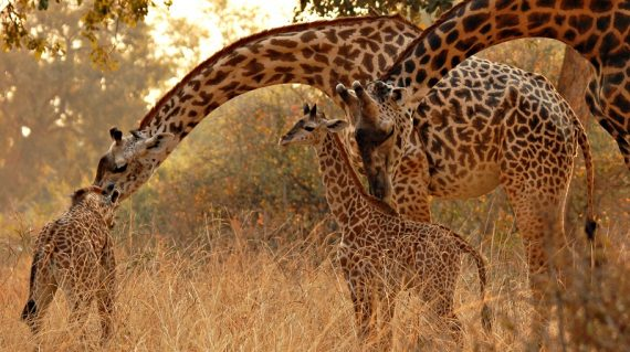 Thornicroft giraffe © All for Nature Travel