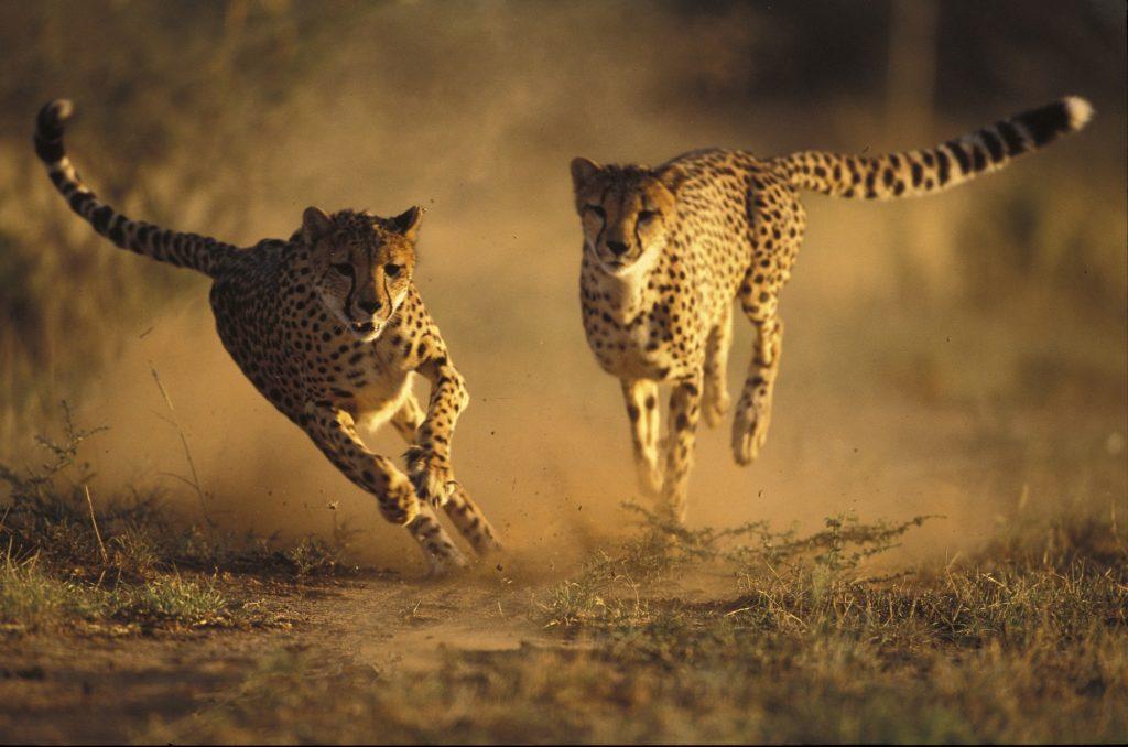 cheeta, ccf, namibie