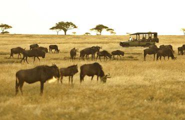 Serengeti wildebeest ©Asilia