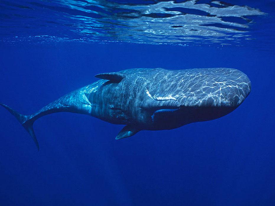 Reis potvis, reis Azoren, potvis, pico, whale watching