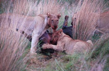 leeuwen bij hun prooi © All for Nature Travel
