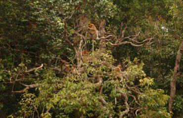 neusapen Borneo