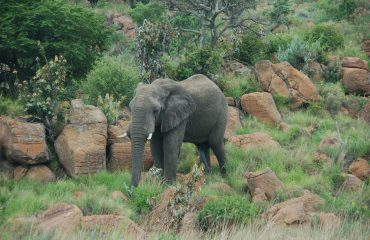 Olifant Limpopo © All for Nature Travel