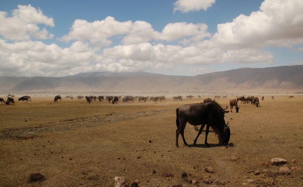 wildebeesten, ngorongoro, tanzania