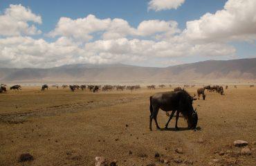 wildebeesten ngorongoro ©All for Nature Travel
