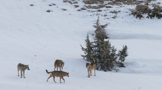 Wolven in januari in Abruzzo