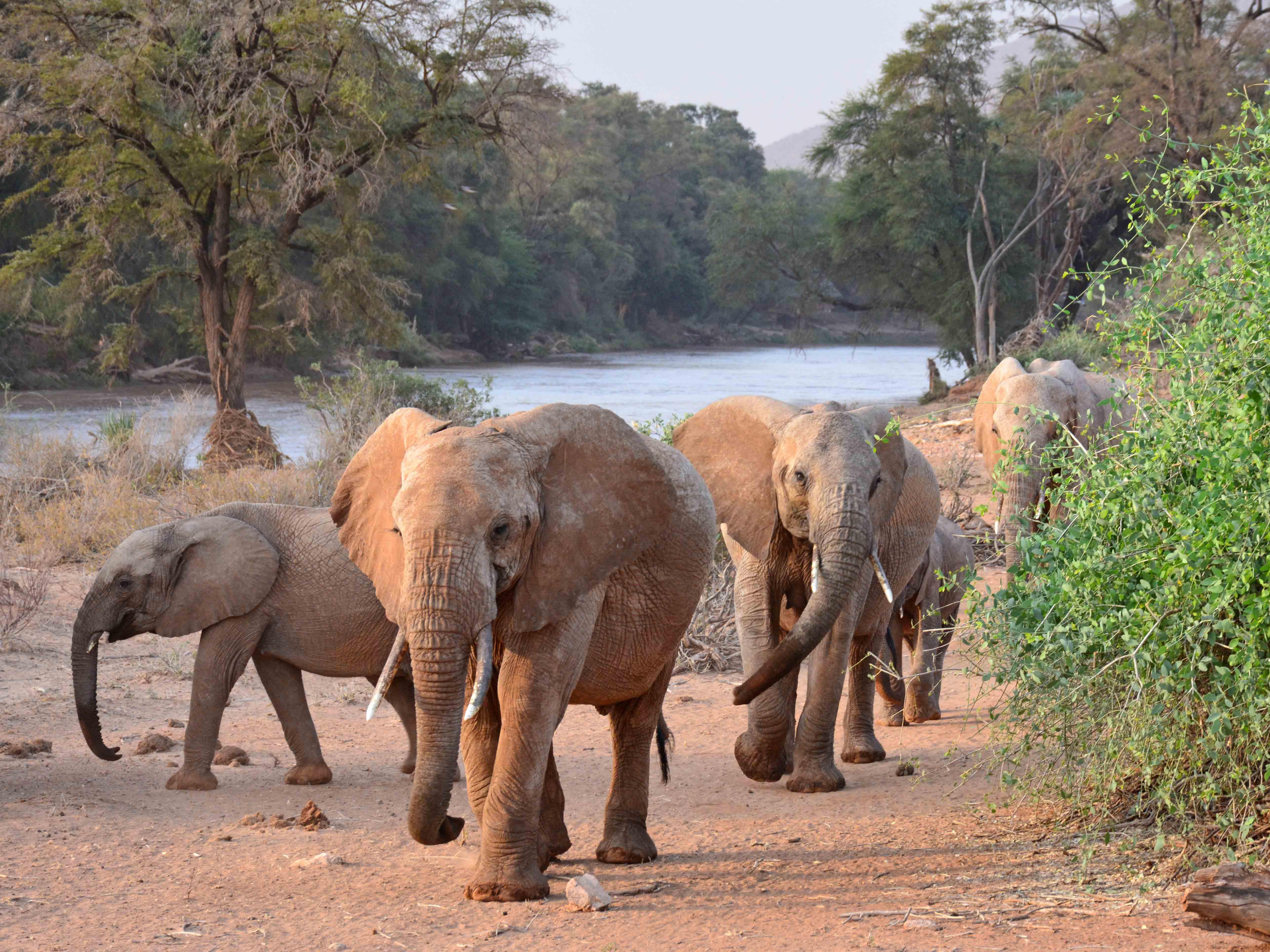Samburu olifant Habiba, reis olifant