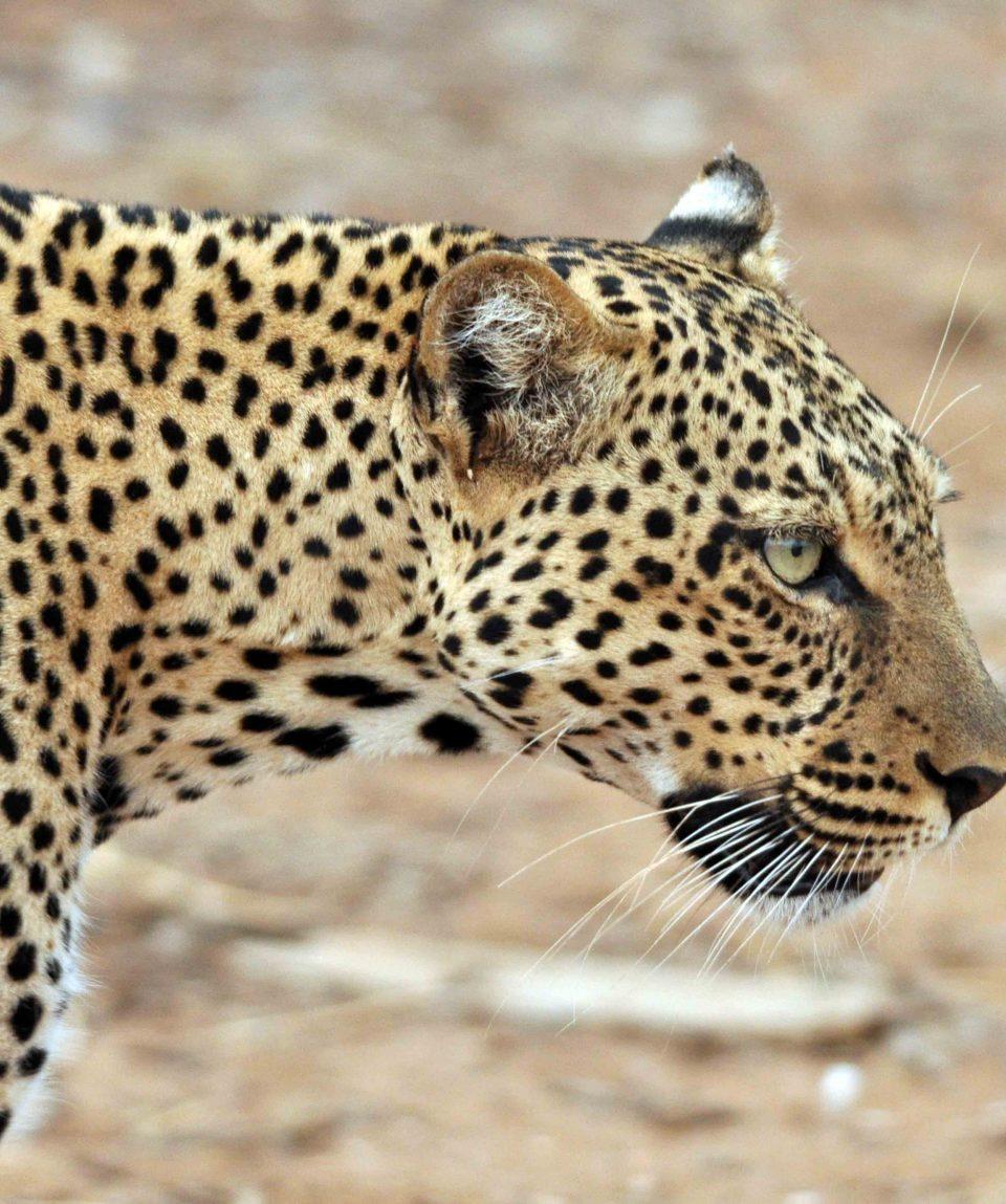 Luipaard Samburu © All for Nature Travel