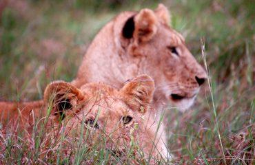 Leeuwenwelpen Masai Mara ©All for Nature Travel
