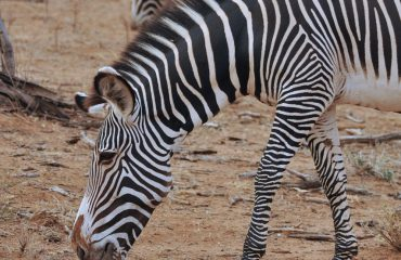 Grevy Zebra Samburu ©All for Nature Travel