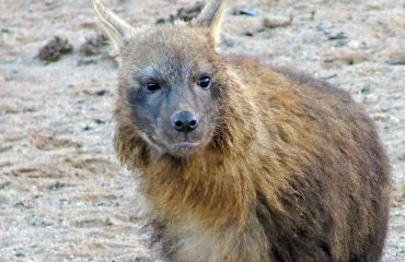 Bruine hyena ©brown hyeana project Namibie