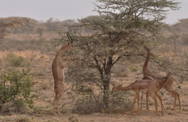 gerenoek Samburu ©All for Nature Travel