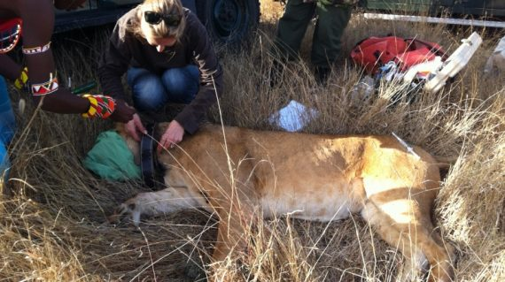 Zenderen leeuw Lewa Coservancy Kenia