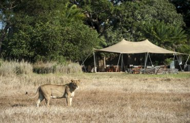 Busanga Bush Camp met leeuwin