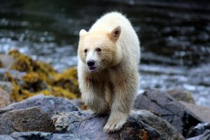 Spirit bear © phil charles