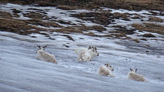 rendieren Spitsbergen