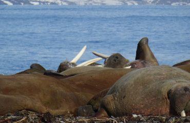 walrussen Spitsbergen