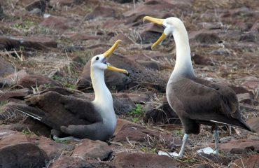 reuzenalbatros-galapagos-islands