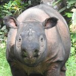 Andatu, Sumatran Rhino , met dank aan Stoots