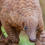 Pangolin Conservation Project Sri Lanka
