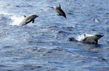 Gewone-dolfijnen-gaan-los met dank aan Kieke