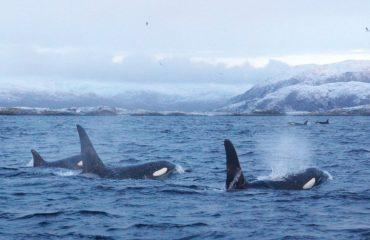 orka's  Noorwegen met dank aan Kieke
