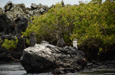 Galapagos pinguins ©All for Nature Travel