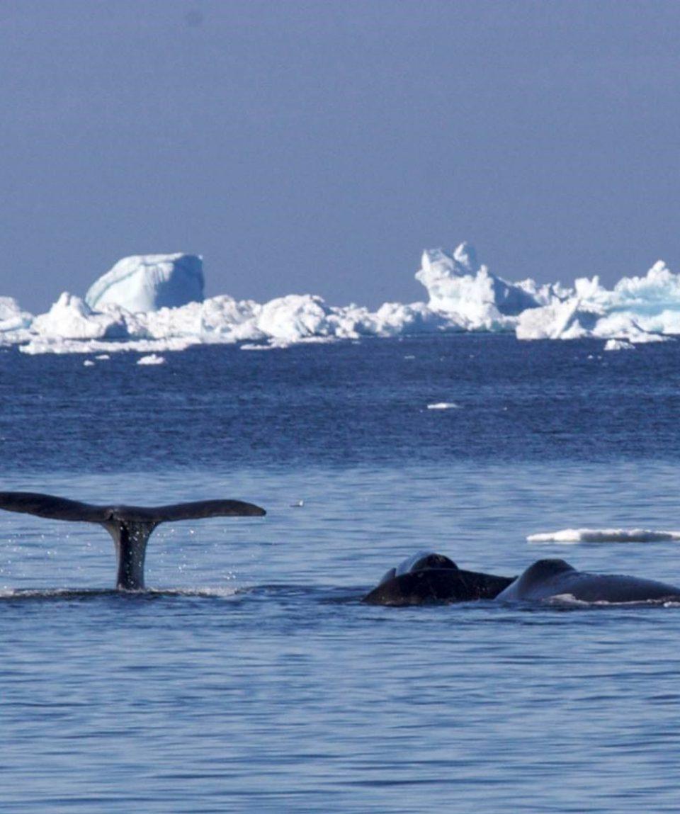 Groenlandse walvissen langs het pakijs