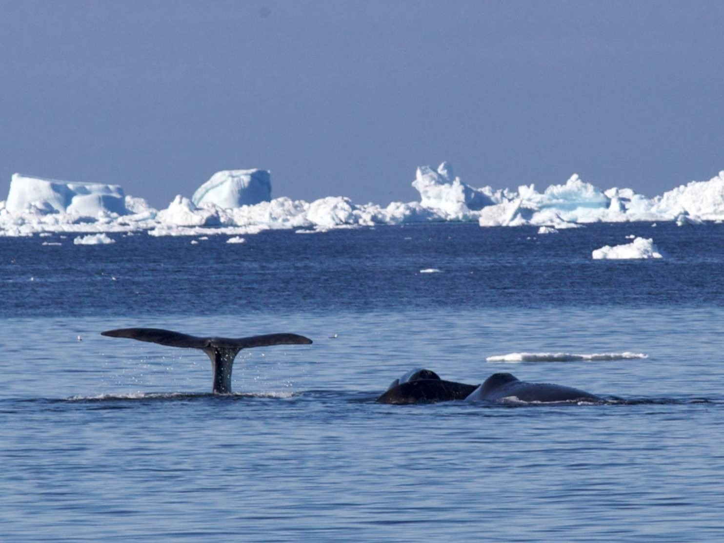 Oceanwide Expeditions, duurzame poolreis, groenlandse walvis