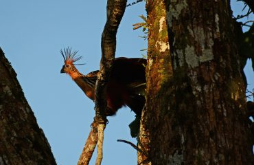 Hoatzin in Yasuni ©All for Nature Travel