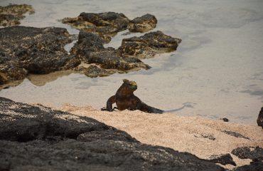 Marine iguana komt aan land ©All for Nature Travel op Isabela