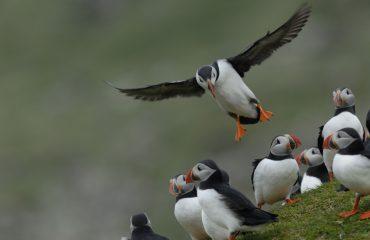 Papegaaiduikers © Rinie van Meurs