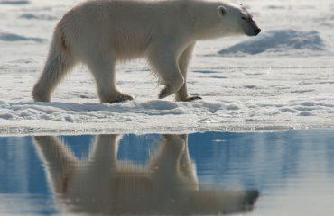 IJsbeer, North Spitsbergen© Erwin Vermeulen