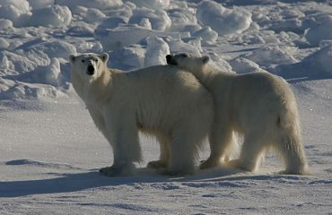 IJsbeer Noord Spitsbergen © Rinie van Meurs-Oceanwide Expeditions