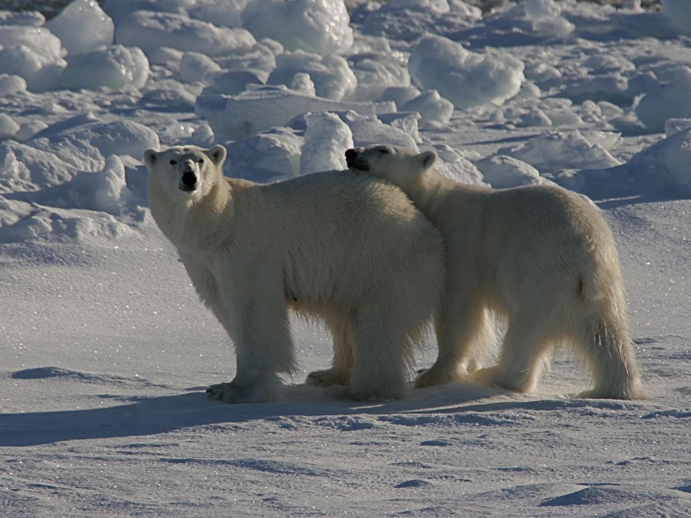 ijsbeer reis, ijsbeer spitsbergen
