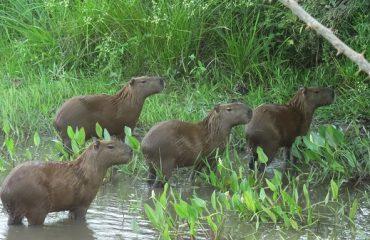 capibara's Pantanal