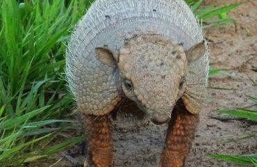gordeldier armadillo Pantanal