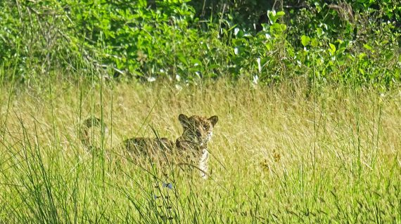 jaguar oncafari Caiman Refugio Ecologico