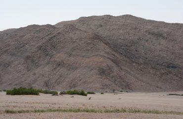 woestijnleeuwen op jacht Hoanib Valley ©All for Nature Travel