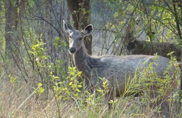 Sambar Kanha © All for Nature Travel