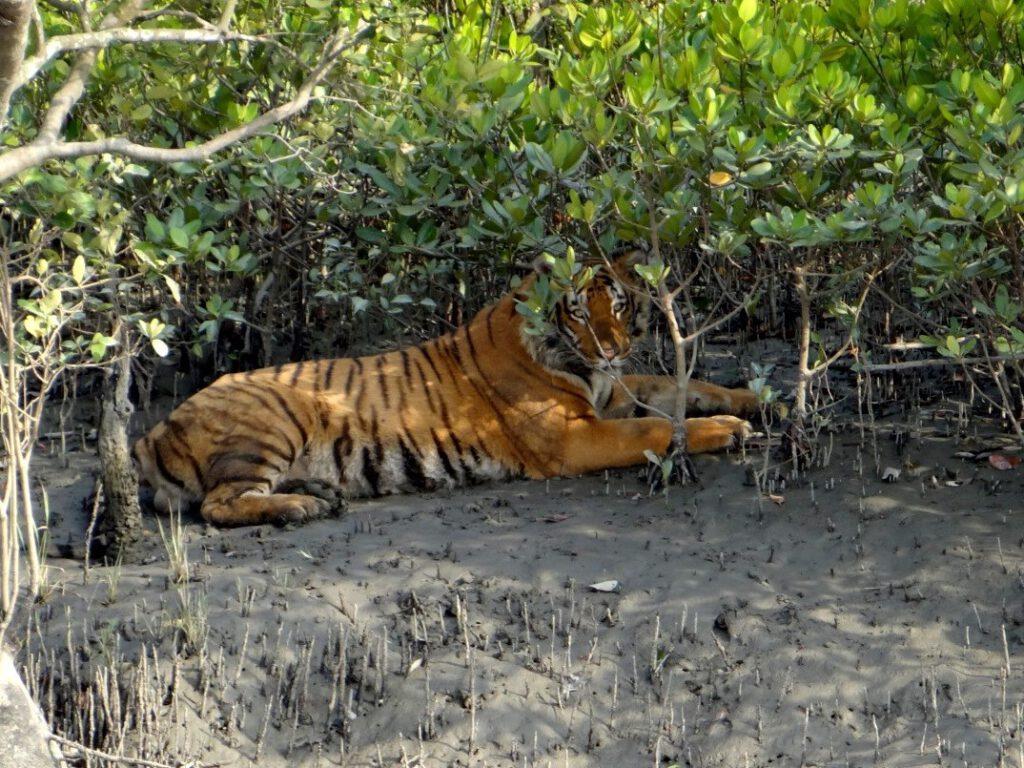 Waxpol, sunderbans , tijger safari, india tijgerreis