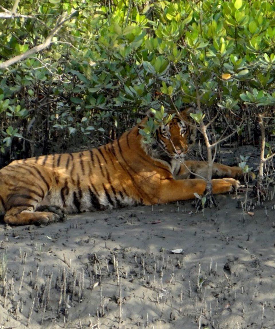Tiger Sunderbans