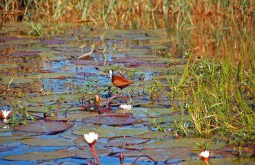 Jacana Okavango