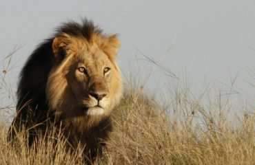 black maned lion Kalahari Game Lodge