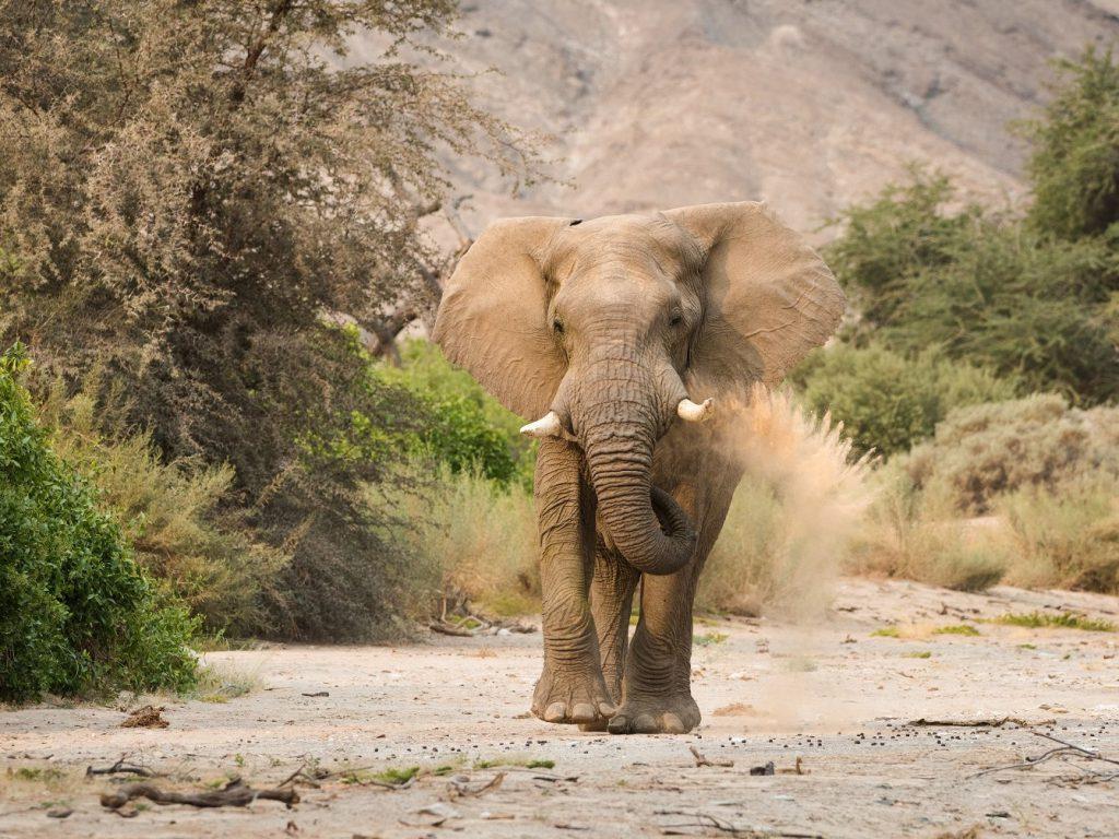 Woestijnolifant, reis Kaokoveld, reis Kunene, safari Namibie
