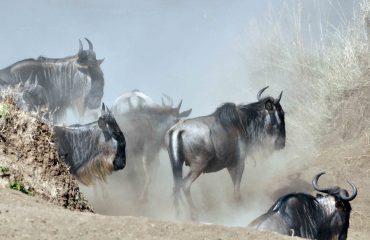 migratie masai mara