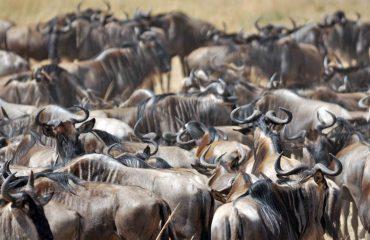 wildebeest migratie