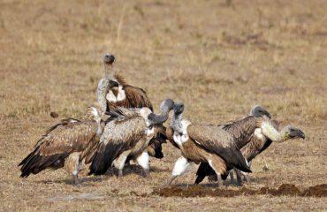 gieren Masai Mara