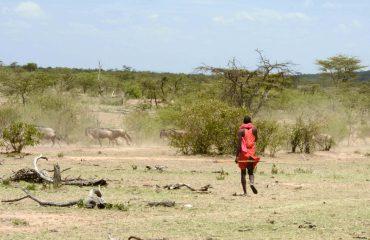 Maasai walking met wildebeest migratie