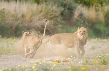 woestijnleeuwen © Hoanib Valley Camp